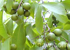 genip_bunch