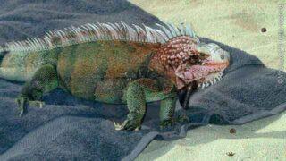 Iguana on Beach