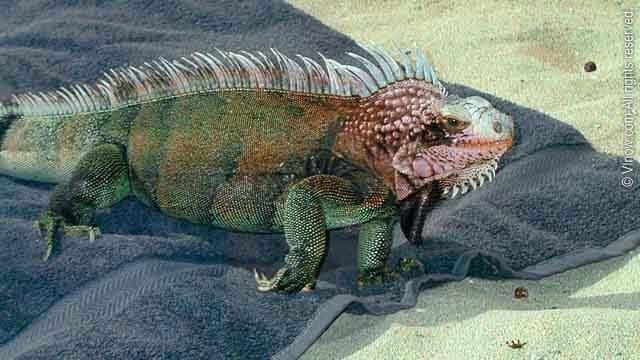 Iguana on Towel