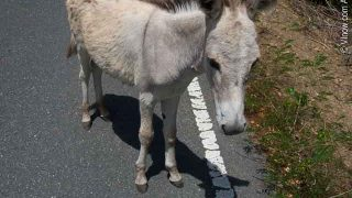 St. John Donkey